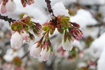Mount Fuji Cherry Blossoms after a spring snow storm.