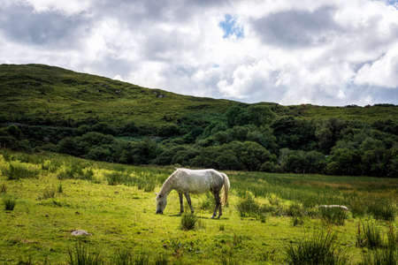 Beautiful white horse highlighted by sunlight eating grass on empty meadow, grassland with hills and puffy clouds, Ireland