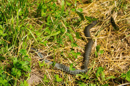Grass snake in wilderness on a green meadow, Natrix natrix, sometimes called the ringed snake or water snake, is a Eurasian non venomous snake, Poland