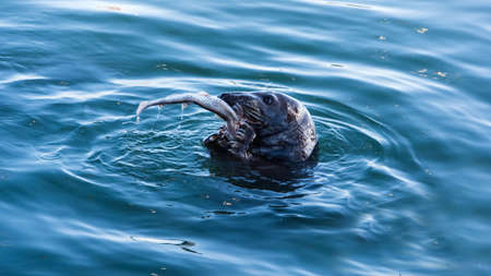 A close up of wiled Grey Seal, Halichoerus Grypus, eating a freshly caught fresh fish, Howth harbour, Ireland Stockfoto