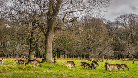Large herd of deer on early morning in the forest scenery, dawn, stormy clouds, Phoenix Park, Ireland Фото со стока