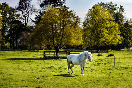 White horse grazing on green meadow in summer on a bright sunny day with forest in background