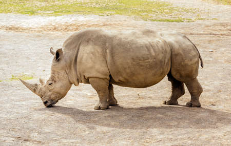 Close up of large Southern White Rhinoceros, Ceratotherium Simum, in their habitat in Dublin zoo, Ireland