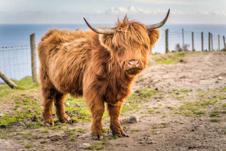Beautiful, long furred or haired, ginger coloured Scottish Highland cattle on the hill of Slieve Donard in Mourn Mountains with Irish Sea in background, Northern Ireland