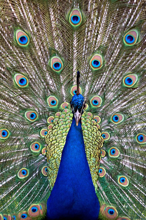 dignified: Frontal view of a colorful and vivid blue peafowl bird peacock displaying extended vibrant, iridescent colored, eye-spotted tail feathers.