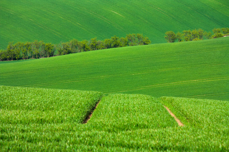 Moravian fields in the Czech Republic during spring. Green field with grass and grain. Rural, peaceful life. Nice texture and background