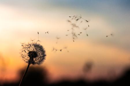 A Dandelion blowing seeds in the wind at dawn. Closeup, macro Reklamní fotografie