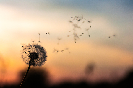 A Dandelion blowing seeds in the wind at dawn. Closeup, macro