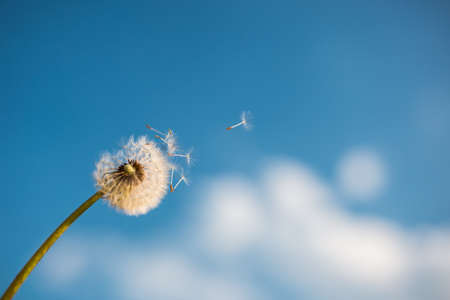 A Dandelion blowing seeds in the wind at dawn.Closeup, macro, in spring Imagens