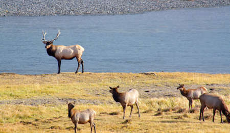 alongside: A buul elk stands next to his harem alongside the Yellowstone River at Yellowstone National Park,Wyoming