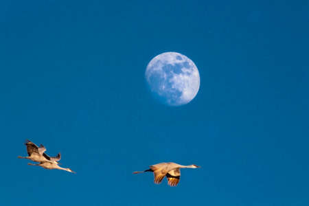 Sandhill Cranes fly before a rising moon at Bosques Del Apache, New Mexico photo