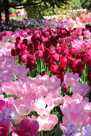 Light and shadow contrast of pink and purple tulips Banco de Imagens