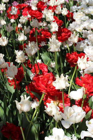 Red and White Tulips - mixed