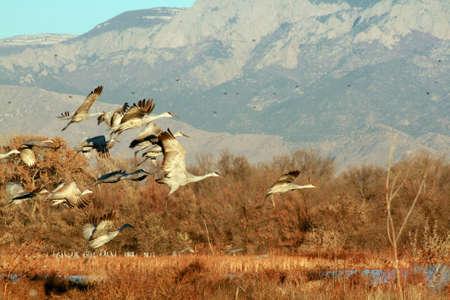 Sandhill Cranes in the Bosque near Albuquerque, New Mexico   The Sandia Mountain rise blue in the background   Banco de Imagens
