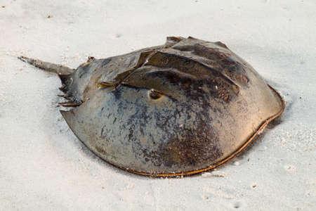 A horsehoe crab sitting on the beach. 版權商用圖片