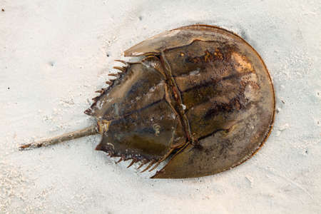 A horsehoe crab sitting on the beach. Stock Photo