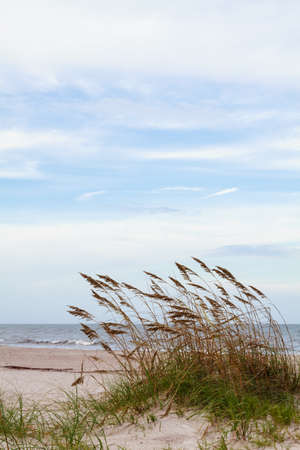 Sea oats blowing in the ocean breeze  Stock Photo