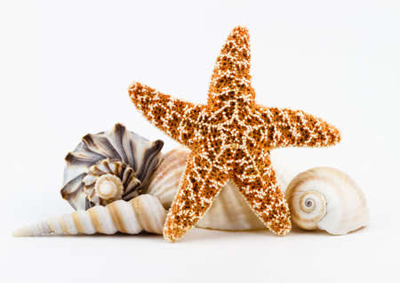 A sugar starfish and various seashells  photo