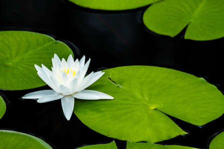 nymphaea odorata: A water lily with lily pads