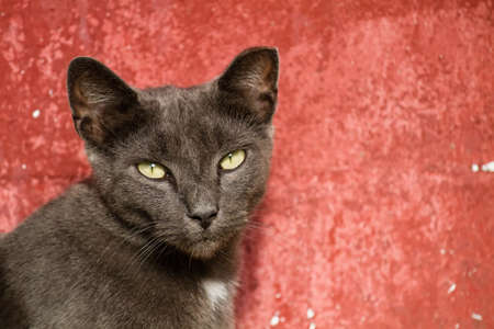 Gray adult cat looking at the camera against a red background.