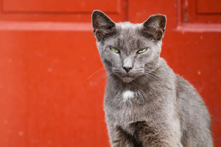 sunshine state: Gray adult cat looking at the camera against a red background.