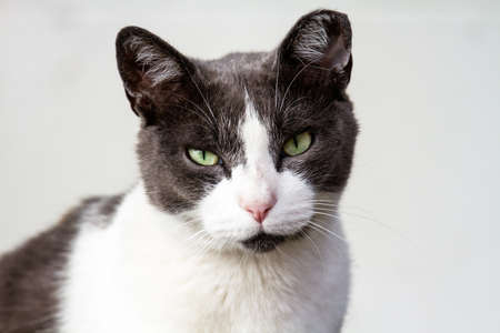 Gray and white adult cat looking at the camera.