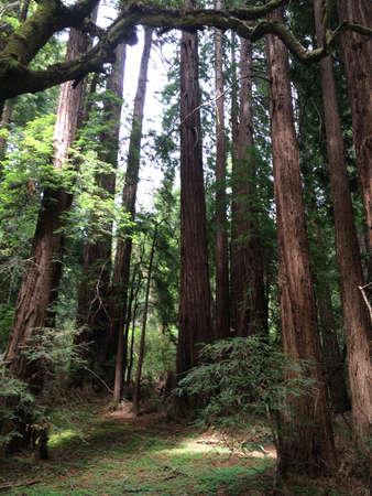 muir: Muir Woods Stock Photo
