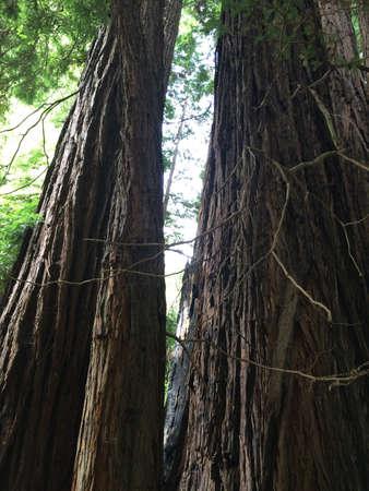 Muir Woods Zdjęcie Seryjne