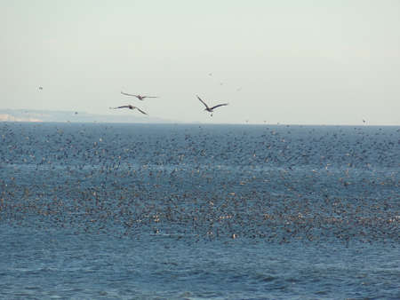 Pacific bird swarm Stock fotó