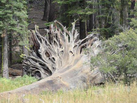 Fallen tree roots, Sequoia National Park