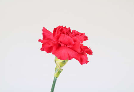 red  carnation: Beautiful red carnation