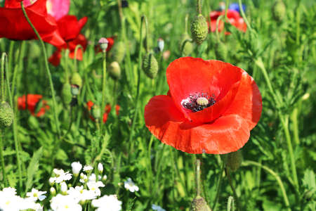 papaver rhoeas: beautiful Papaver rhoeas