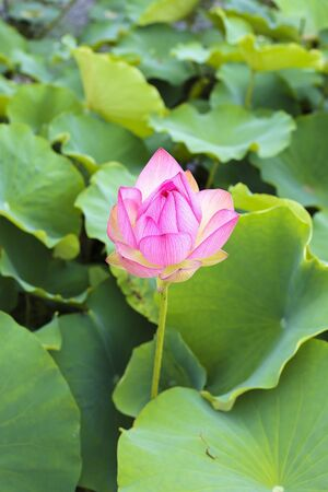 flower show: Beautiful lotus flower show his face