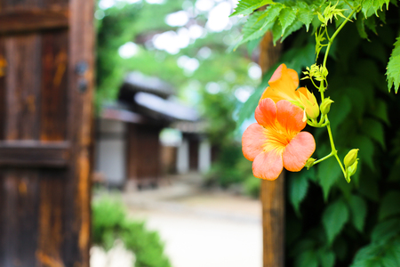 exclusive photo: Chinese trumpet creeper is a classic beauty