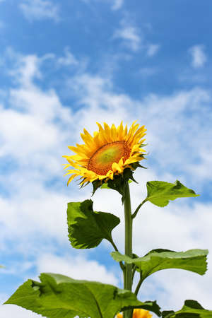 exclusive photo: Sunflower looking at the bright sun