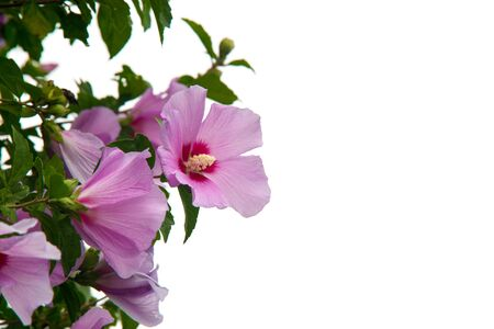exclusive photo: Flower of the beautiful rose of sharon