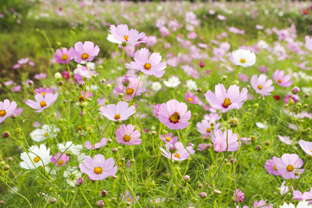 green and purple: Cosmos flowers in the garden