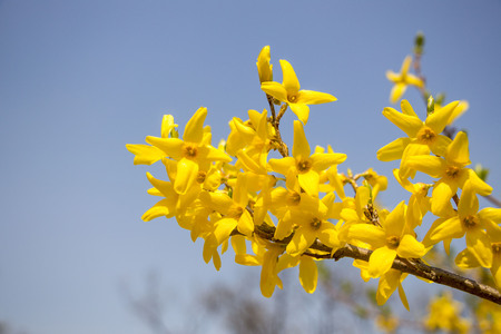 Beautiful Forsythia in spring time