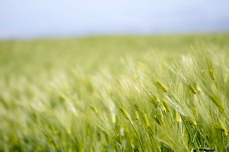 Beautiful fresh Barley plantation
