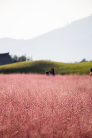 Beautiful Pink Muhly Grass Fields with a big tree in Gyeongju, Korea Imagens