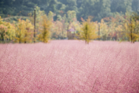 Beautiful Pink Muhly Grass Fields