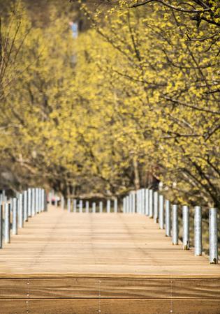Spring Japanese cornlian cherry, yellow flowers