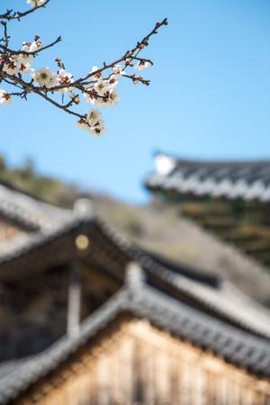 Spring Japanese apricot flower, white flowers