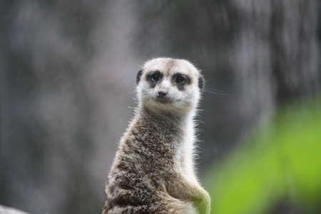 meerkat: Meerkat  Stock Photo