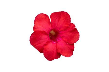 Red azalea flower isolated on white background.