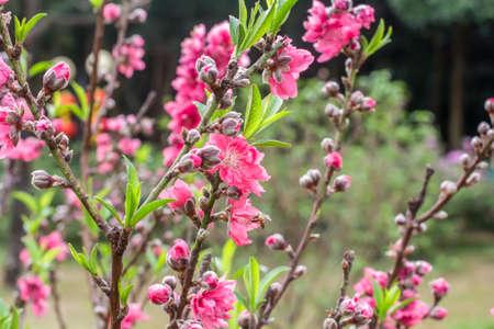Fleurs de pêche rouge Banque d'images - 97099412