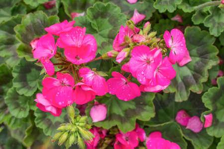 Un géranium rouge en pleine floraison Banque d'images - 97099416