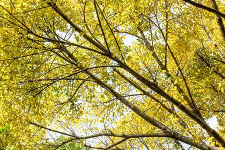 Les feuilles jaunes sur les branches Banque d'images - 98262446