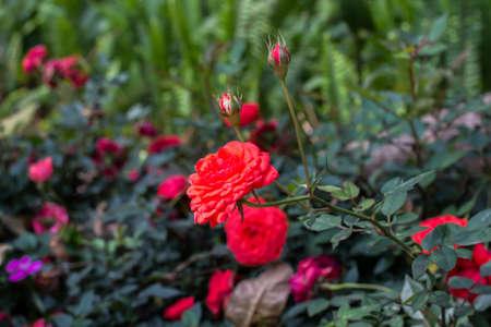Fleurs de rose naturelles Banque d'images - 98262501