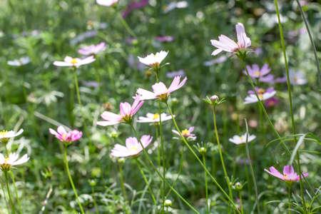 Fleur de galsang dans le parc Banque d'images - 98262745